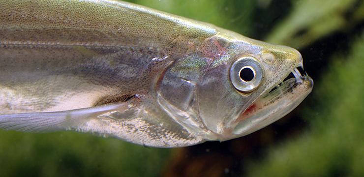 rhaphiodon vulpinus