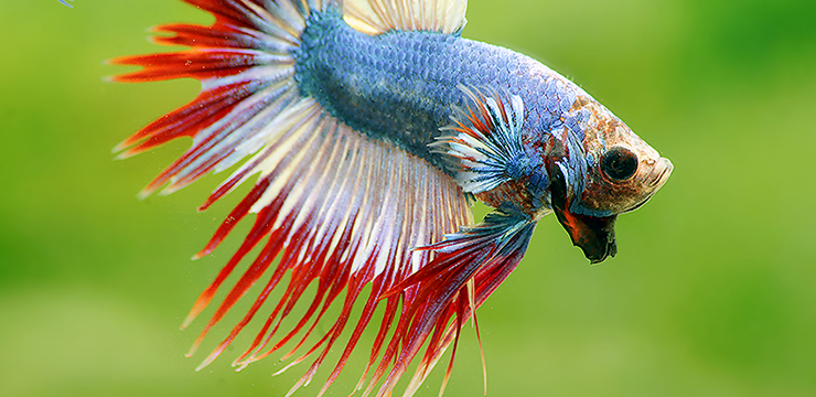 betta splendens crowntail thaiflag