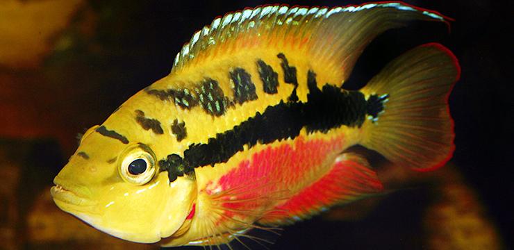 Trichromis salvini