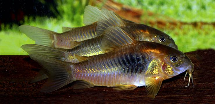 corydoras gold shoulder maldonaldo1