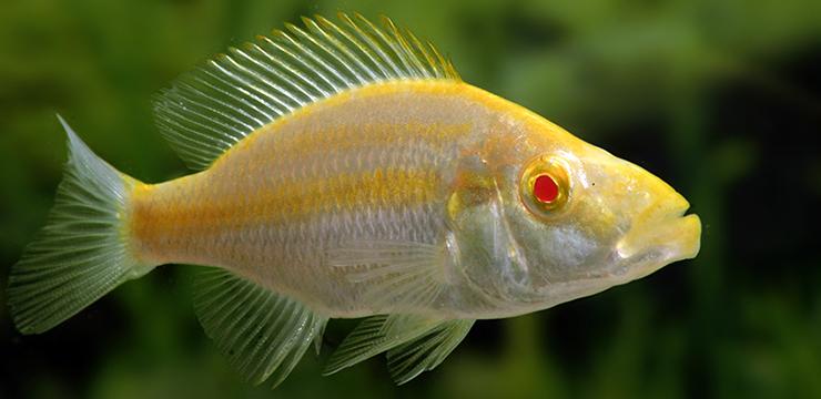 dimidiochromis compressiceps albino