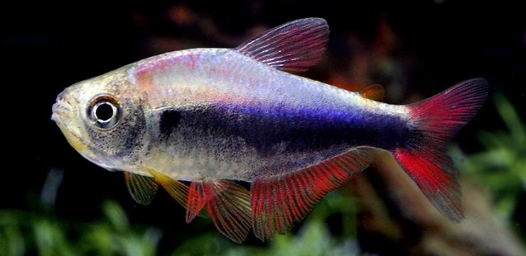 hyphessobrycon margitae sp bluered mann1