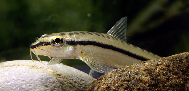 nemacheilus longistriatus portrait