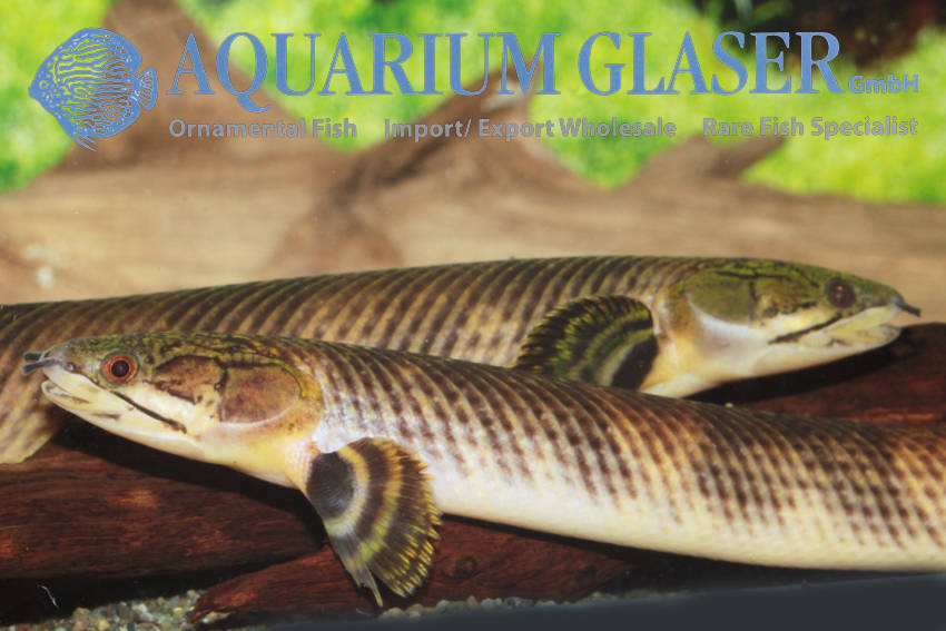 Polypterus mokelembembe