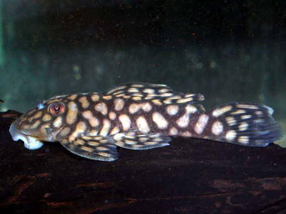 Spectracanthicus (= Oligancistrus) zuanoni L 354