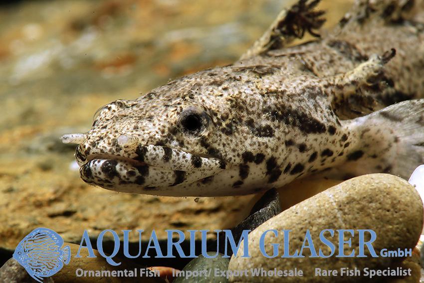 Bichir Aquarium Glaser Gmbh