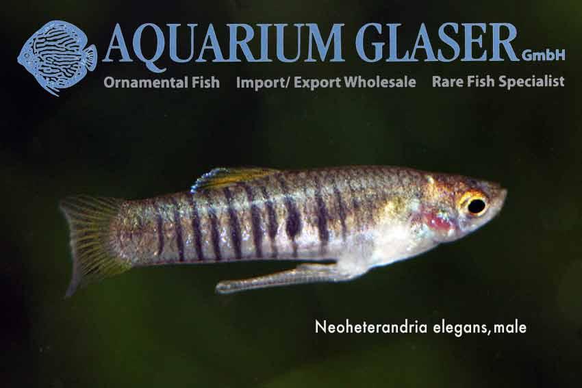 Heterandria Formosa And Neoheterandria Elegans Aquarium