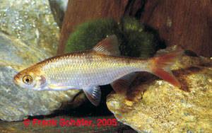 Scardinus erythrophthalmus Gold