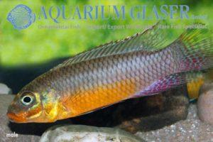 Pelvicachromis taeniatus Bipindi