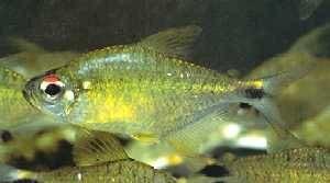 Astyanax leopoldi