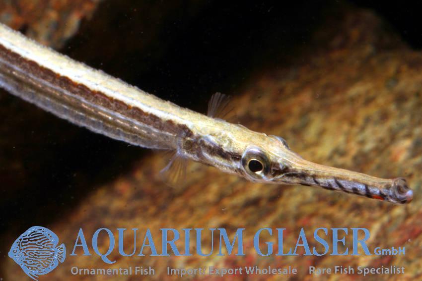 Microphis Aculeatus