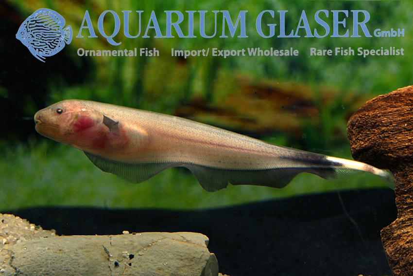 Apteronotus albifrons white aquarium glaser gmbh for Fish swimming backwards