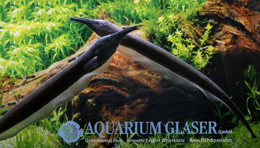 Sternarchorhynchus aus Peru