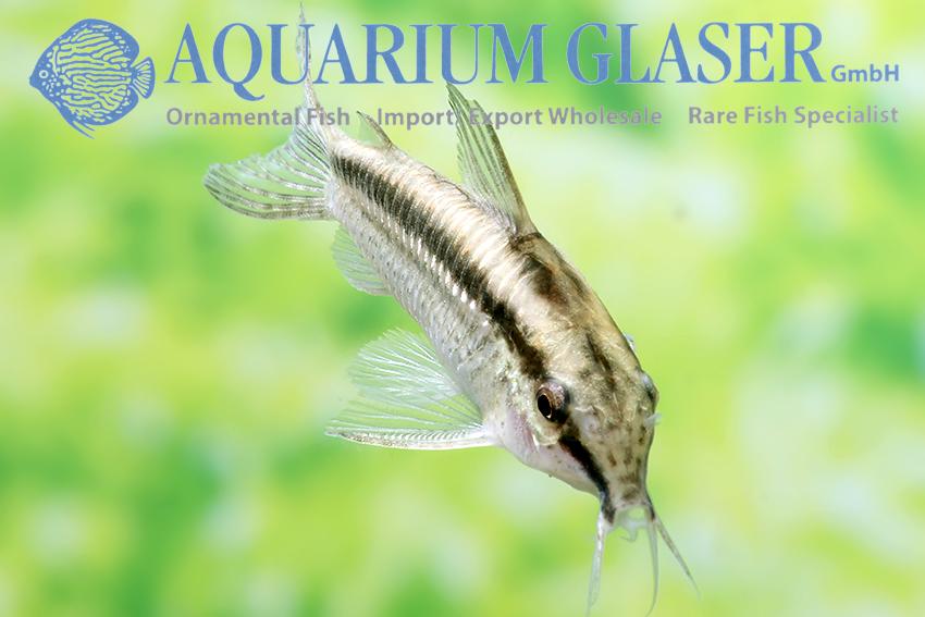 Corydoras gracilis - Aquarium Glaser GmbH