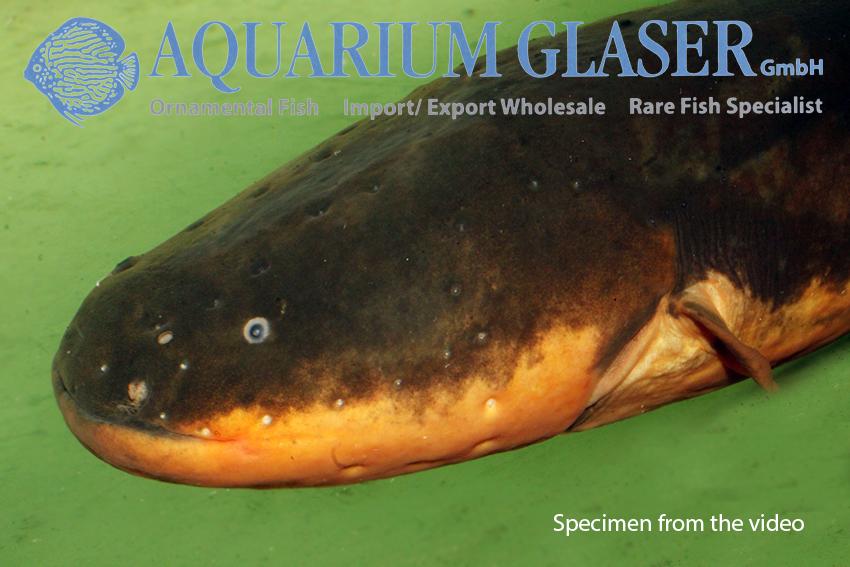 aquarium fische atmen film