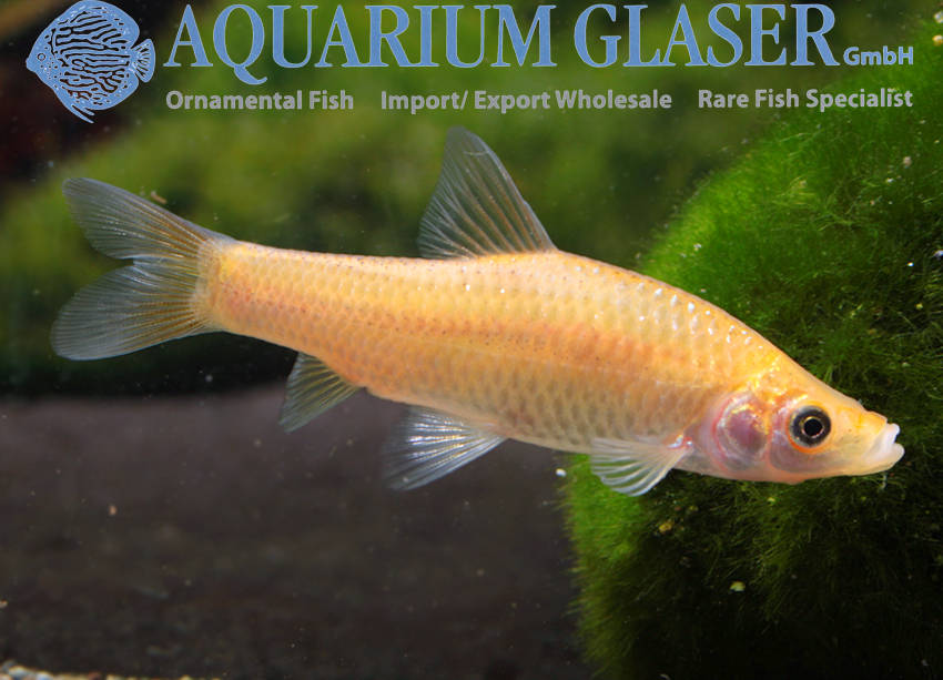 Pseudorasbora parva gold aquarium glaser gmbh for Golden ornamental pond fish crossword