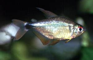 Hyphessobrycon cf. loweae