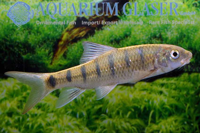 Acrossocheilus paradoxus aquarium glaser gmbh for Elritzen im gartenteich