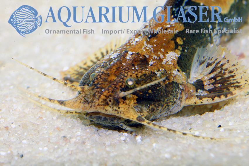 Akysis portellus aquarium glaser gmbh - Glaser dekorieren mit sand ...