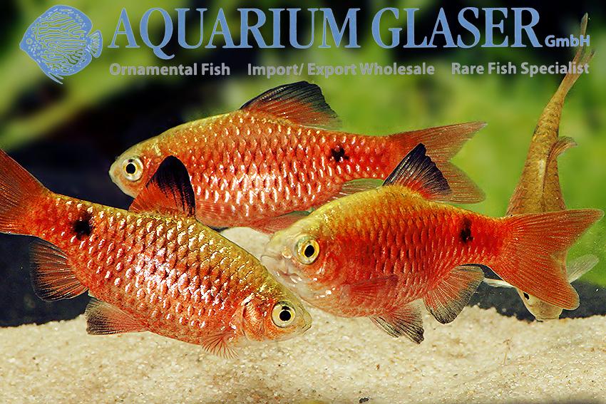 https://www.aquariumglaser.de/wp-content/uploads/369352-pethia-conchonius-neon-red2.jpg