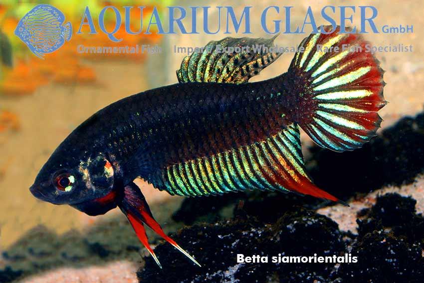 Betta mahachaiensis und betta siamorientalis aquarium for Kampffische arten