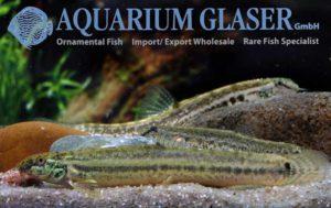 Lepidocephalichthys guntea – die ideale Aquarienschmerle