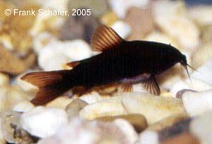 Corydoras sp. BLACK VENEZUELA