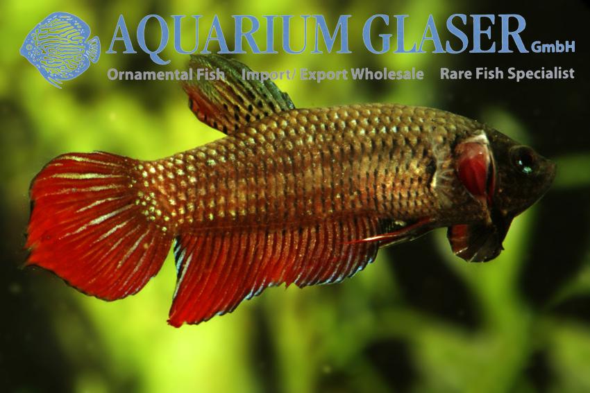 Betta splendens wild aquarium glaser gmbh for Wild betta fish