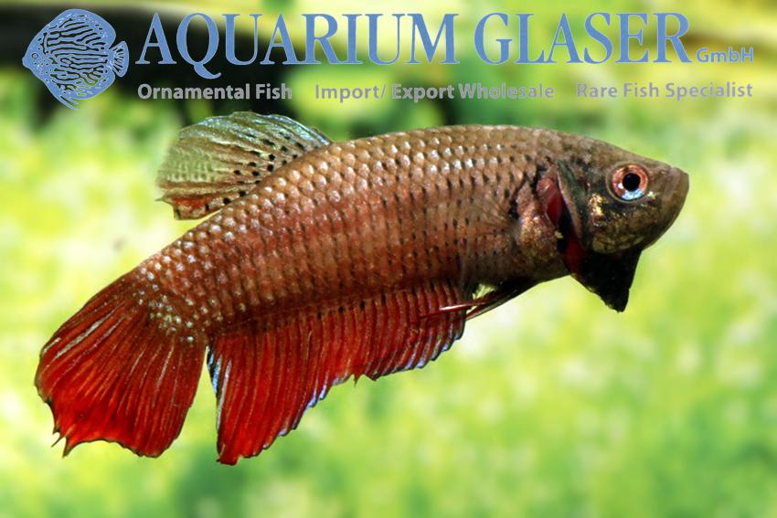 Siamesischer kampffisch aquarium glaser gmbh for Kampffisch betta splendens
