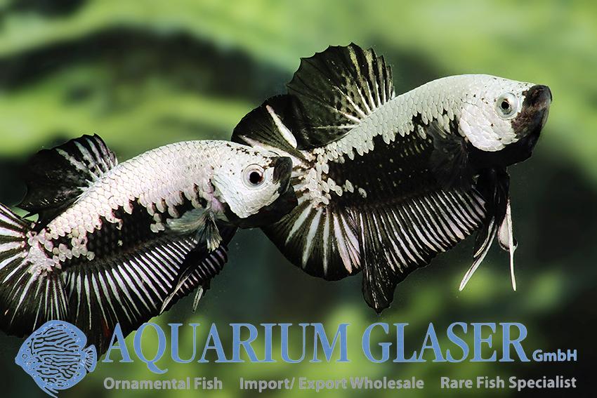 Betta Splendens Black Samurai Aquarium Glaser Gmbh