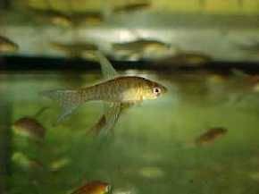 Terranatos dolichopterus