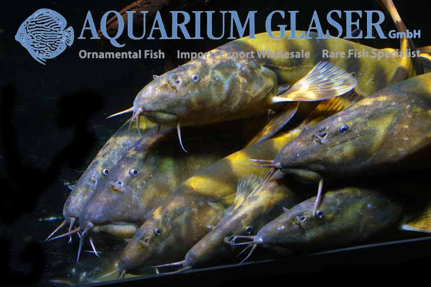 Large emperor loaches arrived aquarium glaser gmbh for Ornamental fish pond supplies