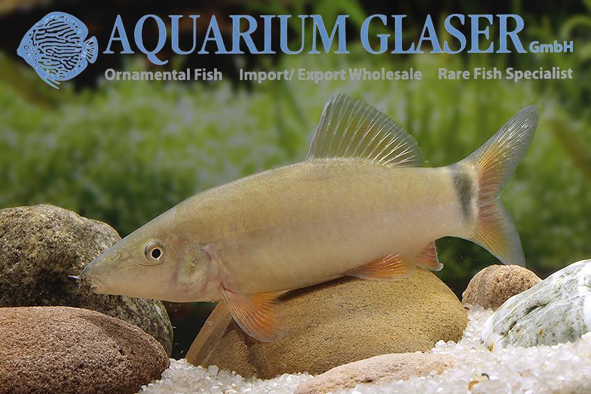 Yasuhikotakia Aquarium Glaser Gmbh