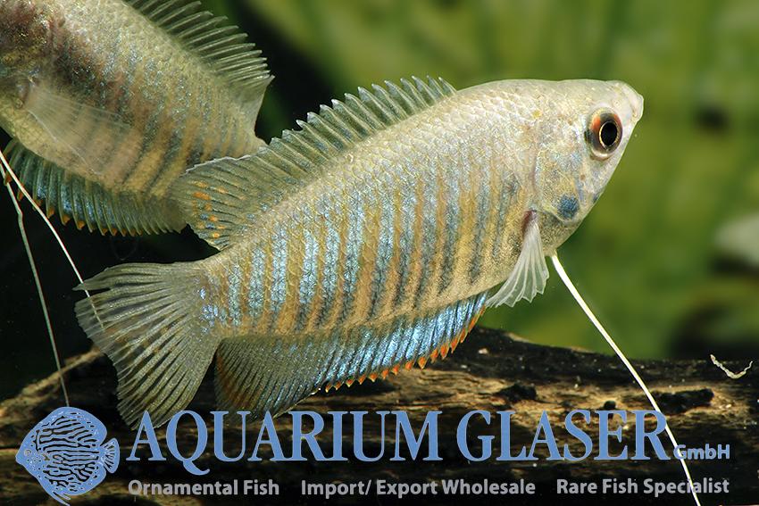 Colisa fasciata wild - Aquarium Glaser GmbH