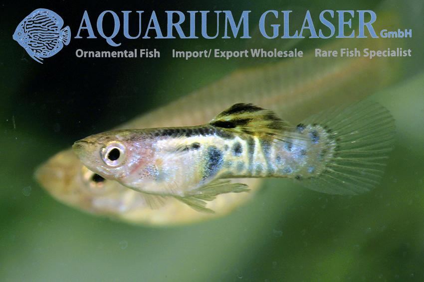 Livebearer Aquarium Glaser Gmbh