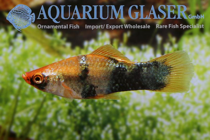 Swordtail Fish Stock Illustrations – 113 Swordtail Fish Stock ... | 567x850