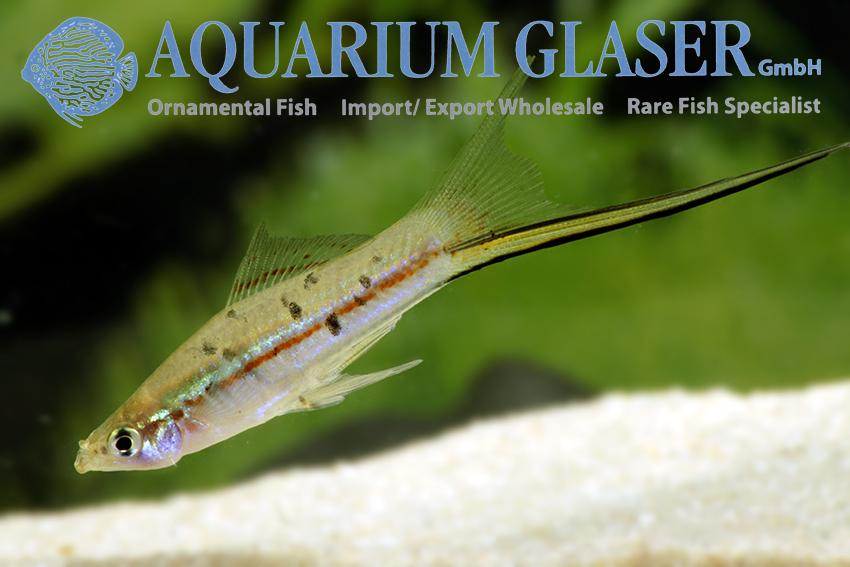 King Lyra Aquarium Glaser Gmbh