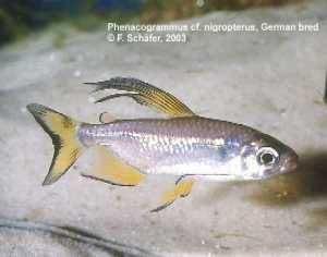 Phenacogrammus cf. nigropterus