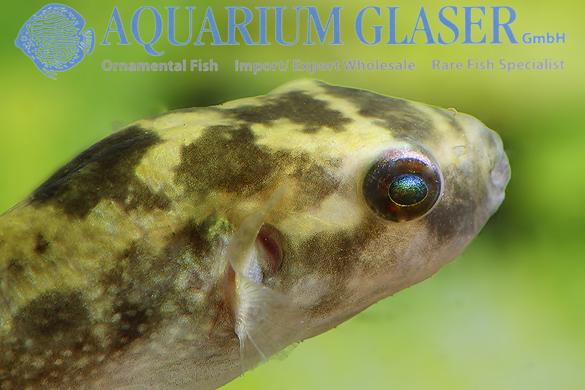Leiodon cutcutia THAILAND - Aquarium Glaser GmbH