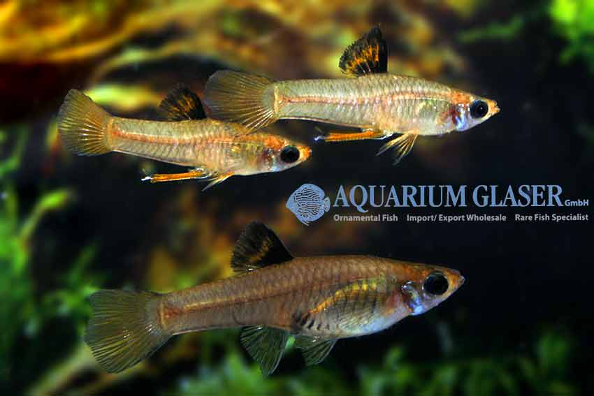 "fda40857e this very attractive livebearer can be offered only very rarely. The  species is also known as the ""Golden Teddy"" among hobbyists. Males"