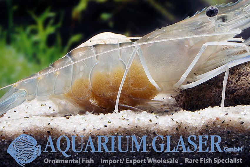 macrobrachium rosenbergii aquarium glaser gmbh. Black Bedroom Furniture Sets. Home Design Ideas