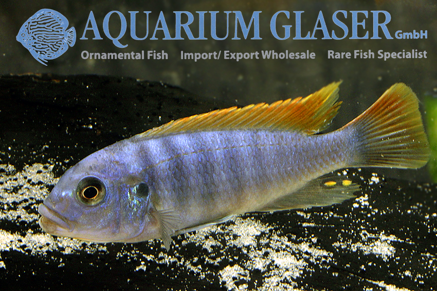 Ornamental fish types 100 images sizes of popular fish for Ornamental pond fish types