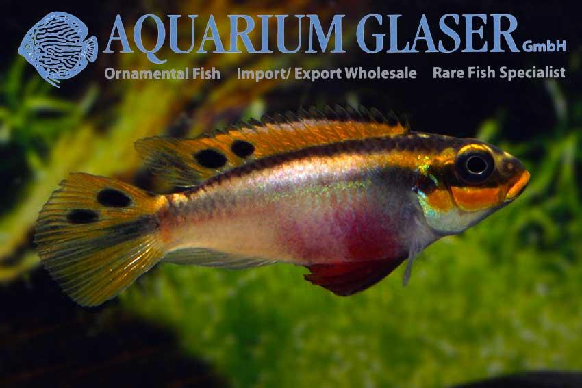 562303-pelvicachromis-taeniatus-nigeria-red-frau