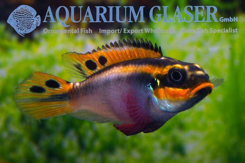 562303-pelvicachromis-taeniatus-nigeria-red-frau2