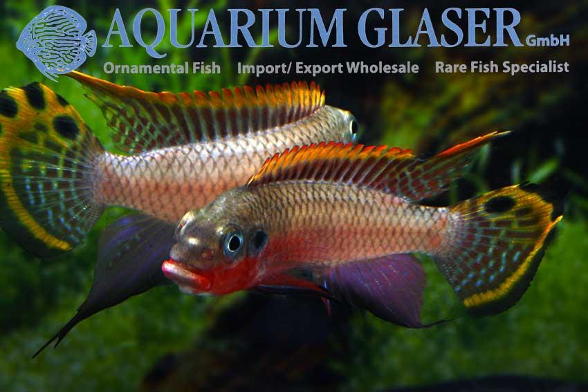 562303-pelvicachromis-taeniatus-nigeria-red-jungs-zanken