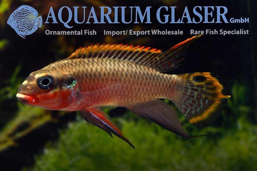 562303-pelvicachromis-taeniatus-nigeria-red-mann