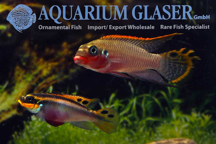 562303-pelvicachromis-taeniatus-nigeria-red-paar1
