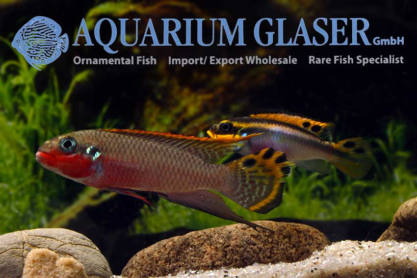 562303-pelvicachromis-taeniatus-nigeria-red-paar2
