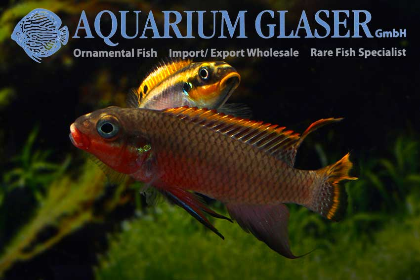 562303-pelvicachromis-taeniatus-nigeria-red-paar3