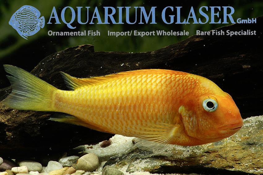 Tropheus Sp Phoenix Aquarium Glaser Gmbh